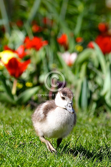 Young nile goose and tulips