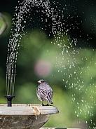 Dark-eyed Junco at a Birdbath