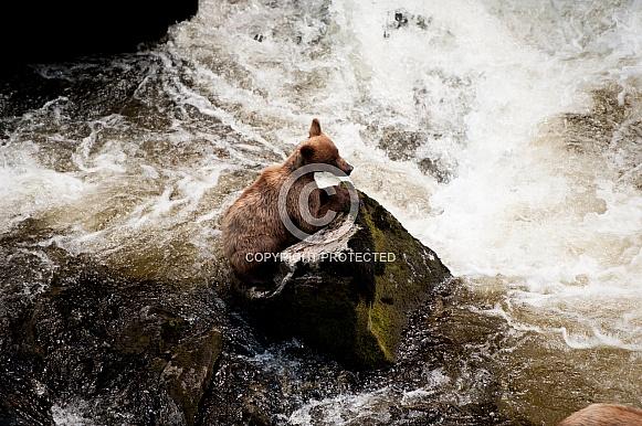 Wild Alaskan brown bear cub