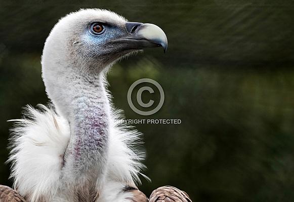 Griffon Vulture Close Up Head Shot