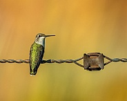 Hummingbird at Rest on Antique Barb Wire