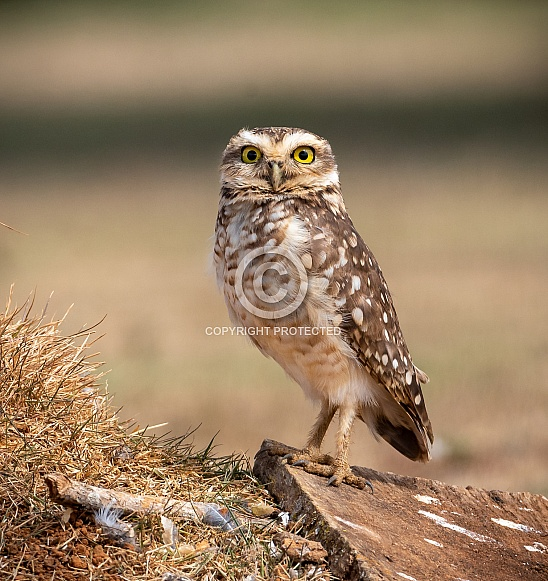Burrowing Owl Stare Down