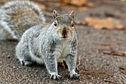 Grey Squirrel Close up