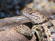 Desert Spiny Lizard Portrait