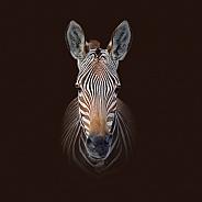 Cape Mountain Zebra Portrait