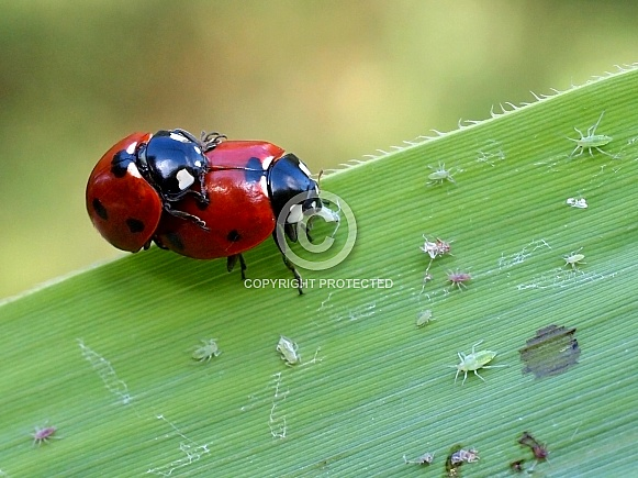 Mating lady bugs