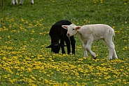 Black & White Lambs