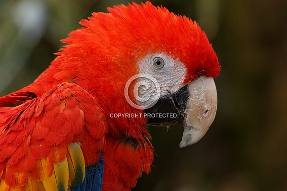 Scarlet Macaw Close Up