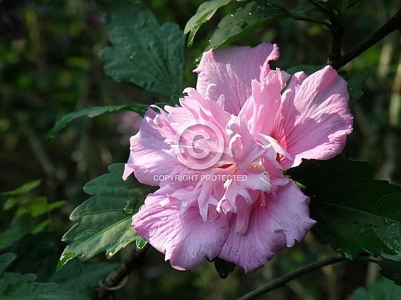 Rose of Sharon III