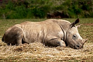 Young Rhino Sleeping