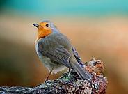 Robin Redbreast Posing