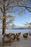 Winter Snow and Sheep - England