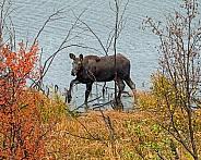 Moose Calf leaving Sawmill Pond