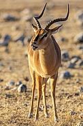 Black Faced Impala - Namibia