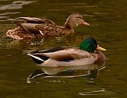 Mallard Duck - male & female