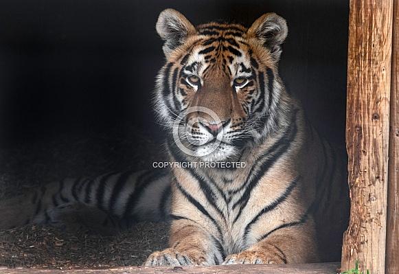 Amur Tiger Cub Resting Lying Down