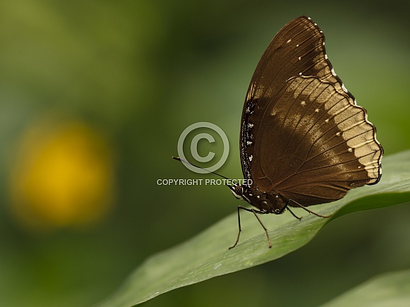 Butterfly Euploea core