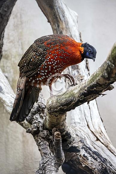 Satyr tragopan (Tragopan satyra) bird