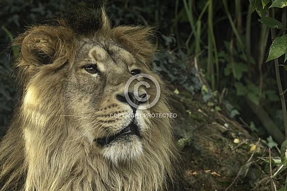 Asiatic Lion Close Up