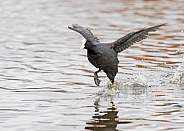 Coot Running on Water