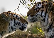 Amur Tiger Couple