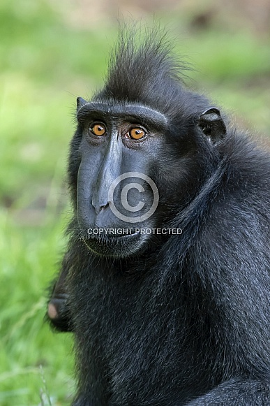 Celebes crested macaque (Macaca nigra)