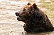 Kamchatka Brown Bear In Water