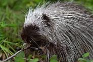 Juvenile Porcupine Eating Leaves