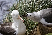 Black-browed Albatross mother and young fledgling