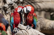 Scarlet red Macaws snuggling