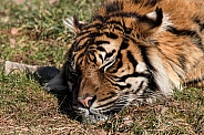 Sleeping Sumatran Tiger