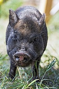Grey Minature Pig