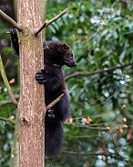 Wolverine up a tree