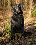 Working Flat Coated Retriever