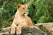 Young Lioness Resting