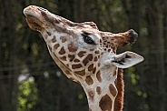Giraffe Close Up Head Up
