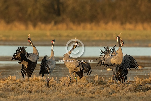 Common Cranes Displaying