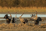 Common Cranes Displaying