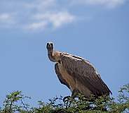 White-backed Vulture 1