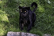 Black Jaguar Sitting