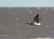 Brent Goose in Flight