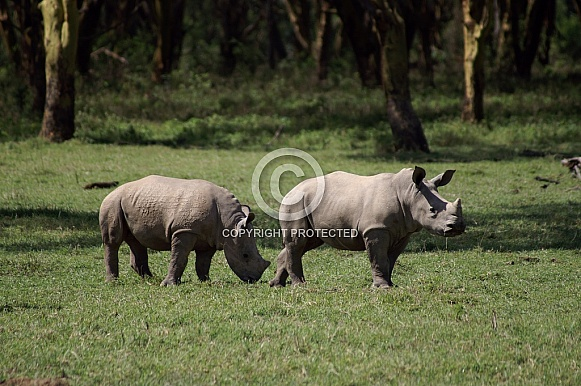 White Rhino Calves