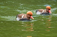 Red-crested Pochard Pair