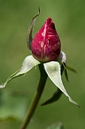 Candy stripe rose bud.