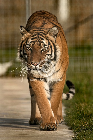 Malayan Tiger Walking Towards Camera
