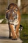 Malayan Tiger Walking Towards Camera