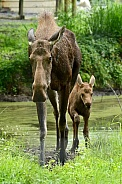 Moose - cow and calf