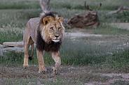 Wild Male lion in Kgalagadi