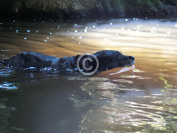 Black Labrador Swimming