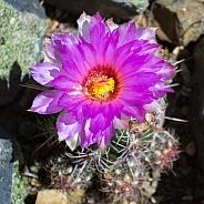 Texas Lace Cactus Flower